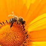 Les abeilles : agissons pour leur protection