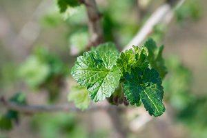 feuilles-cassis