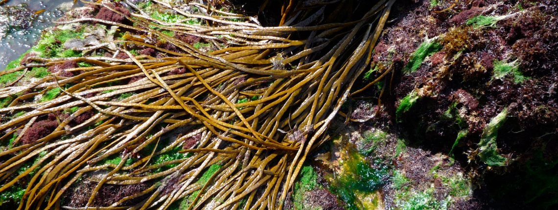 Algues : faire sa cueillette soi-même?